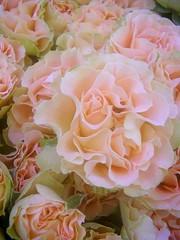Gathering roses(Romantic curiosa) - by tanakawho