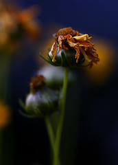 Pined away (Cretaceous) Tags: summer 15fav flower color macro nature beautiful yellow closeup canon ilovenature dof favorites rebelxt 135mm interestingness325 i500