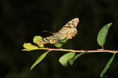 """Speckled Wood Butterfly (pararge aege(7) • <a style=""""font-size:0.8em;"""" href=""""http://www.flickr.com/photos/57024565@N00/184005058/"""" target=""""_blank"""">View on Flickr</a>"""