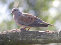 Turtle Dove, Titchwell (Norfolk), 1-Jul-06 (Dave Appleton) Tags: bird birds turtle pigeon dove norfolk titchwell streptopelia turtledove eurasianturtledove streptopeliaturtur turtur