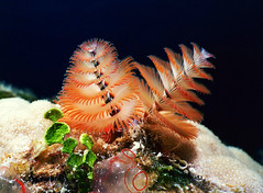 Scuba Diving Aquacat 2004, Christmas Tree Worm closeup (divemasterking2000) Tags: ocean life christmas cruise sea summer tree 2004 animal photography islands boat marine ship underwater live scuba diving sealife scubadiving caribbean oceans worm bahamas seas marinelife aboard liveaboard aquacat fcdbs