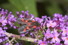 "Five-Spot Burnet Moth (zygaena trifol(1) • <a style=""font-size:0.8em;"" href=""http://www.flickr.com/photos/57024565@N00/187462250/"" target=""_blank"">View on Flickr</a>"