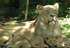 pride (Jake & Cat) Tags: 15fav tag3 taggedout tag2 tag1 lovely1 loveit lions cubs asiatic