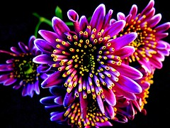 Saturated... (Flutterbye_856) Tags: flowers black macro green yellow petals saturated purple bright lighttent munipulated qemdadminfave flickrdiamond qemdfinchadminsfavforoct