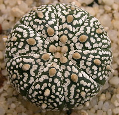 Astrophytum asterias 'Super Kabuto' (petrichor) Tags: cactus plant macro succulent cactaceae astrophytum asterias superkabuto july2006 astrophytumasterias davidjmidgley