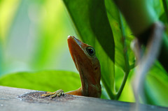 any more? (timpmn) Tags: green lizard anole caribbean experience7 timpmn