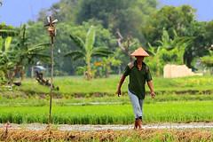 Pak Tani (wi dodow) Tags: paktani nature human landscape sawah geonusantara kincirangin canon