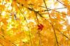 紅一点 (aqugacosmo) Tags: pentax tamron sp90 90mmmacro 90mm k5iis k5ⅱs japan macrolens mapleleaf mapleleaves yellow red ペンタックス タムロン タムキュー 上石津 岐阜県 多良峡 多良峡森林公園 もみじ 紅葉 黄色 赤色
