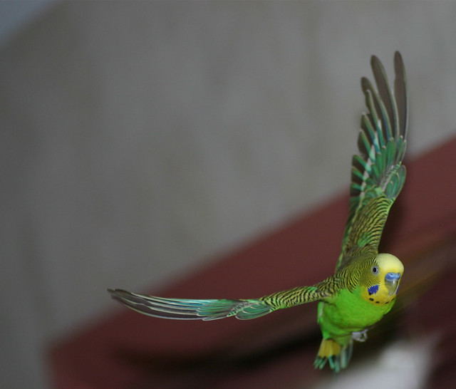 Всё о попугаях неразлучников - 0f