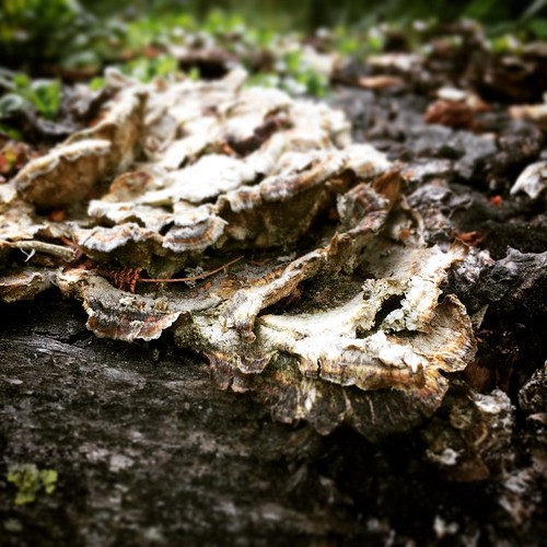 Bracket fungus grows on tree stumps in #yxy #yukon #boreal #forest