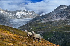 """Dessine moi un mouton / draw me a sheep "" Ch. 2. Two sheeps walking up to the Furka Pass.After them will walk the others.  .No. 2034. (Izakigur) Tags: road music white alps green ice nature topf25 animals schweiz switzerland nikon rocks europa europe flickr raw peace suisse suiza swiss topf300 glacier sua nikkor svizzera 500faves wallis lepetitprince uri valais thelittleprince furka ilpiccoloprincipe 100faves 200faves  300faves 400faves nikond700 izakigur bestcapturesaoi elitegalleryaoi"