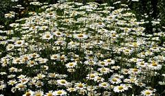 Margeritenwiese (ingrid eulenfan) Tags: flower nature natur pflanze wiese beet blume margerite