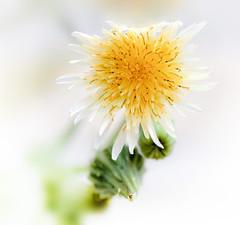Sonchus Oleraceus - Gewone Melkdistel (kunstschieter) Tags: summer flower macro nature backlight sonchusoleraceus tegenlicht gewonemelkdistel