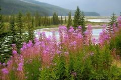 Flowers 3 (Fil.ippo) Tags: flowers canada landscape lago meadow alberta fiori filippo paesaggio fireweed waterscape bowlake greatwillowherb d5000 epilobi filippobianchi fioridisantanna