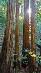 Morning Gathering (Renate Flynn) Tags: california morning hike marincounty sequoia mounttamalpais sunflare mattdavistrail sequoiadendronsempervirens samsunggalaxys4 february2015