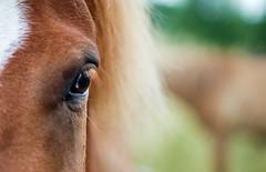 (dunkelbunt304) Tags: horse pony pferd lightroom icelandichorse islnder islandpferd islandpony
