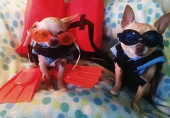 somewhere, beyond the sea (EllenJo) Tags: silly simon dogs goofy costume goggles chihuahuas floyd flippers lifevests 2015 indisguise oceanready