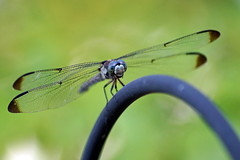 Face to Face (Jim Atkins Sr) Tags: macro insect nc dragonfly outdoor northcarolina fairfieldharbour