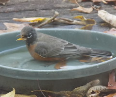 blogDSCN8033 (CarverS2) Tags: birds american robin