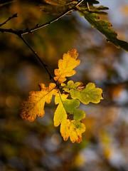 Oak (Future-Echoes) Tags: 4star 2011 autumn bokeh depthoffield dof leaves light nature oak tamron tamronsp90mmf2811macro