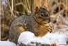 Frequent Visitor II (Kerstin Winters) Tags: squirrel nature eichhoernchen natur flickr flickrnature sigma sigma150600 d7200 nikon nikondsl nikondigital colorado snow winter nahaufnahme macro closeup