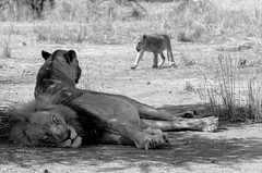 Kruger National Park, 9 Agosto 2016 (Arsenio_Lupin) Tags: family lion wild africa bw bn biancoenero blackandwhite d5100 nikon southafrica sudafrica park kruger