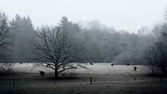 Horns (ppaschka) Tags: natur cow kuh baum bäume tree felt gras schatten canon 700d 50mm 18f