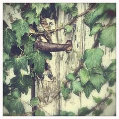 It's actually a door handle... (Caroline Oades) Tags: intrigue leaves ivy peelingpaint doorhandle cherryshineflash blankofilm mabellens iphone5s hipstamaticeditsuite theappwhisperer 4365 412017