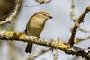 _F0A8149.jpg (Kico Lopez) Tags: galicia lugo miño mosquiterocomún phylloscopuscollybita spain aves birds rio
