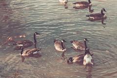 (yosmama151) Tags: autumn avian bird canadiangeese fall geese oklahoma tulsazoo aged vintage faded matte