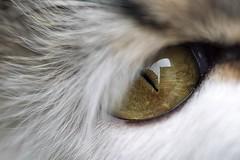0452 Eye Of The Cat (Hrvoje Simich - gaZZda) Tags: eye fur macro yellow nikon nikond750 sigma10528 hrvojesimich gazzda