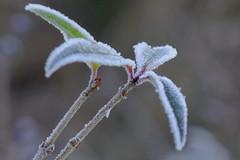 In Eis gehüllt (jolang3) Tags: strauch stengel blätter blatt eis schnee natur outdoor winter fujifilm xt1