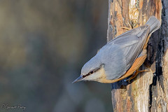 Nuthatch (parry101) Tags: parc slip nature reserve south wales southwales nuthatch bird birds wildlife bridgend animal tree outdoor