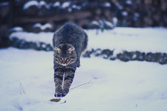 Attaque (N'Grid) Tags: chat cat fun funny amazing chaton chips katze kitty neige snow winter hiver 85mm f18 canon85mm canon85mmf18 canon7d canon7dmarkii 7d 7dmarkii 7dmark2