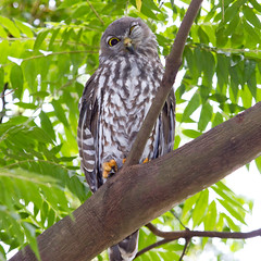 Barking Owl 4 (petefeats) Tags: australia barkingowl birds goldcoast nature ninoxconnivens queensland strigiformes schusterpark strigidae