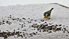 Blue tit having lunch in the snow (in Explore) (Zsofia Nagy) Tags: bluetit bird birdfeeder snow winter garden light peace sanctuary d3100 ourdailychallenge cyanistescaeruleus outdoor animal birds seeds