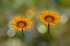 Gazanias_v2 (hequebaeza) Tags: gazania rigens gazaniarigens naranja plantas naturaleza vegetación flores flowers flora nikon d5100 nikond5100 greatphotographers bokeh hequebaeza