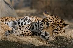 Stella... watching me. (jfelege) Tags: jaguar stella milwaukeecountyzoo milwaukeezoo zoo zoosofnorthamerica zoopass zooanimal zoosinwisconsin zooinwisconsin pantheraonca flickrbigcats