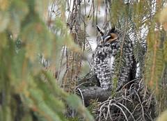 Long-eared Owl - Hibou moyen-duc - Asio otus (D72_3292-3F-20170123) (Michel Sansfacon) Tags: hiboumoyenduc longearedowl asiootus nikond7200 sigma150600mmsports