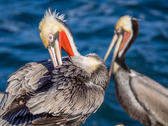 Pelicans (Brenda Gooder) Tags: sandiego pelicans