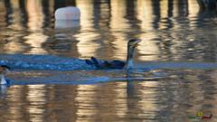 A-LUR_5669 (ornessina) Tags: trasimeno umbria byrd uccelli aironi cormorani toscana va orcia