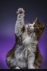 Dikkie2Flickr (1 van 1) (Lefers.) Tags: dikkie cat kat pet huisdier hello fun shoot fuji xt1 fujinon 1855mm