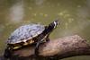 Turtle (Cloudtail the Snow Leopard) Tags: schildkröte wildpark parc animalier sainte croix tier animal reptil turtle