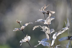 Winter is here (dfromonteil) Tags: vegetal nature decay macro bokeh plant plante white blanc