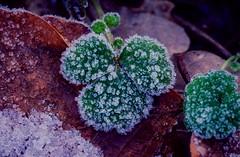 Frozen leaf (2) (frankmh) Tags: cold frozen winter frost ice leaf hittarp skåne sweden outdoor
