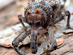Bumpy WEEVIL up close (Lani Elliott) Tags: weevil weevils upclose closeup tasmanianweevil tasmania nature naturephotography bumpy orthorhinus orthorhinusklugi wow brilliant