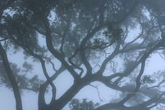 Tree Of Life (neeraj.manoj) Tags: tree mist fog cold nature ooty india tamil nadu light