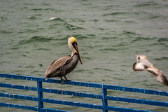 Lunch Time..;) (Jims_photos) Tags: water texas outdoor outside oldfence pelicans adobelightroom adobephotoshop daytime docks fencefriday gulfofmexico happyfencefriday jimallen lightroom texascoast coastalscene corpuschristitexas nopeople nikon7100