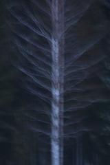 Ghost Tree (jttoivonen) Tags: nature tree plant winter detail birch abstract dark