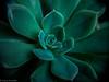 succulent 4 (1 of 1) (lolamorena) Tags: plant plants succulent succulents cactus cacti macro macros nature natural green pots garden jardin park landscape beautiful outdoor outdoors closeup